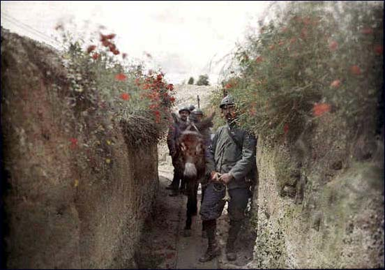 Poppies along a trench